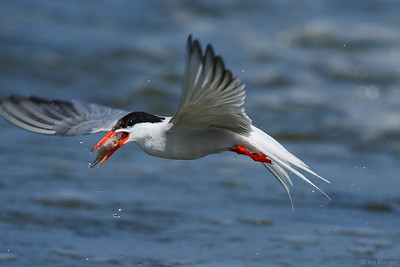 common Terns nesting 2011