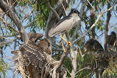 Herons & Eagrets nesting 2011