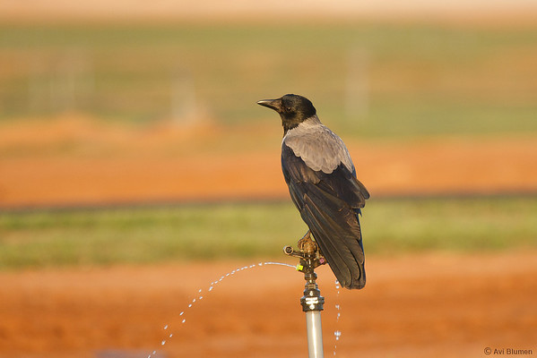 Hooded crow having a drink