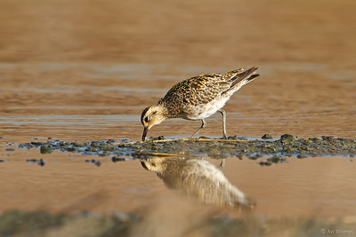 Pacific golden plover חופזי קטן