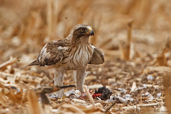 Booted eagle's feast עיט גמדי בסעודת צהריים