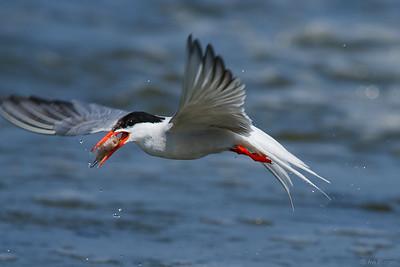 common Terns nesting 2011