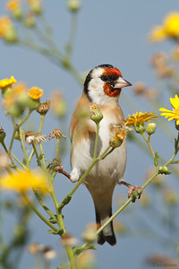 Goldfinch and yellow flowers