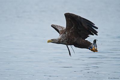White tailed sea Eagle עיטם לבן זנב