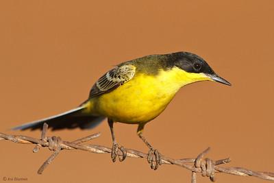 Yellow Wagtail on Barbed wireנחליאלי צהוב על גדר תיל